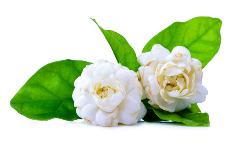 Jasmine flower_1920