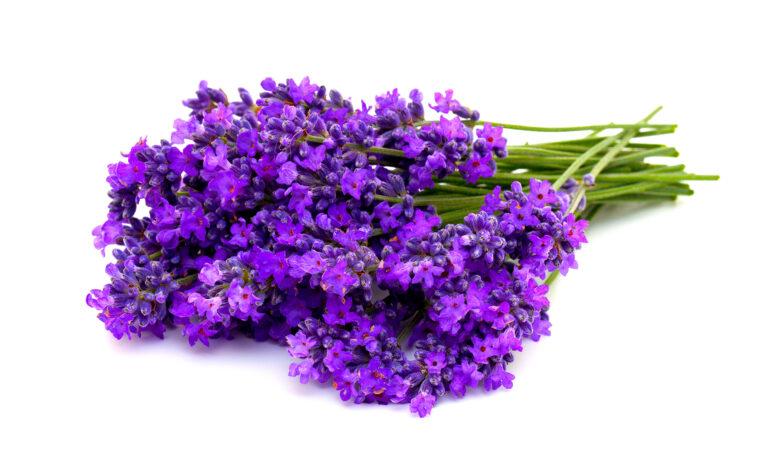 Lavender_1920